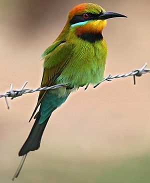 Rainbow BeeEater, North Queensland