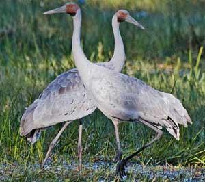 Cranes may be viewed at Hasties Swamp, Atherton Tablelands