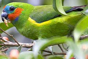 Fig Parrot, Yungaburra