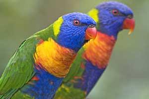 Rainbow Lorrikeets, Atherton Tablelands