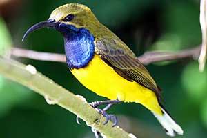 Sunbird - Northern Australia